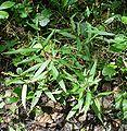 Persicaria minor W.jpg