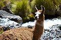 Peru - Lares Trek 036 - grazing llamas & alpacas (7586189450).jpg