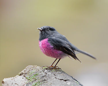 The Pink Robin (Petroica rodinogaster) is a small passerine bird native to southeastern Australia.