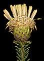 Petrophile ericifolia subsp. ericifolia - Flickr - Kevin Thiele.jpg