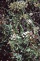Peucedanum cervaria eF.jpg
