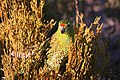 Pezoporus flaviventris -Australia-8.jpg