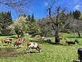 Pezzata Rossa Piemontese - Burcina.jpg