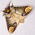 Phalera bucephala, Lodz(Poland)05(js).jpg