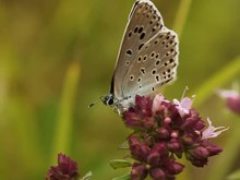 Fichier:Phengaris arion (Common Blue) grooming, taking flight.webm