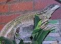 Philippines.sailfin.lizard.arp.jpg