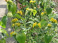 Phlomis fruticosa01.jpg