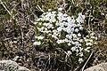 Phlox condensata - Flickr - aspidoscelis (3).jpg