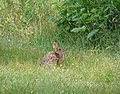 Photo of the Week - New England Cottontail (NH) (11325105703).jpg