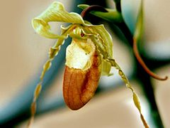 Phragmipedium hirtzii.jpg