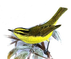 PhylloscopusRickettiKeulemans.jpg