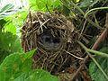 Phylloscopus collybita nest.jpg