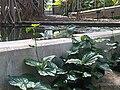 Physignathus cocincinus - Kew 7.jpg