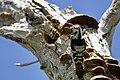 Pica-pau-malhado pequeno ou Pica-pau-galego ( Dryobates minor ) (49870223443).jpg
