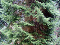 Picea orientalis0.jpg