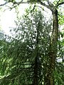 Picea smithiana 006.jpg