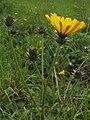 Picris hieracioides PID1775-3.jpg