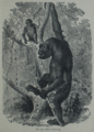Picture Natural History - No 25 - The Gorilla.png