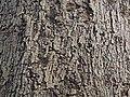 Pignut Hickory Carya glabra Bark.JPG