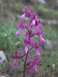 PikiWiki Israel 19228 Anatolian Orchid.JPG