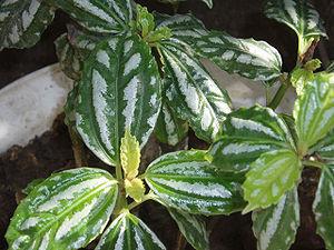 Variegation - Reflective variegation in Pilea cadierei.