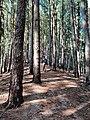Pine jungle.jpg