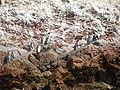 Pingüinos en Islas Ballestas.JPG