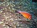 Pink Anemonefish.jpg