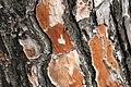 Pinus-halepensis-bark.JPG