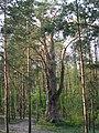 Pinus Silvestris Stankowizna 2008 2.JPG