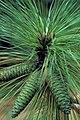 Pinus palustris USDA3.jpg