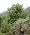 Pinus pseudostrobus Cerro Pelon.jpg