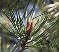 Pinus silv.jpg