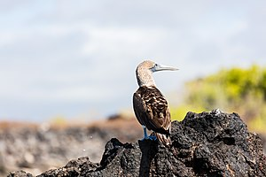 Blue-footed booby - A blue footed booby on the Galapagos Islands.