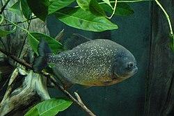 Piranha folp.jpg