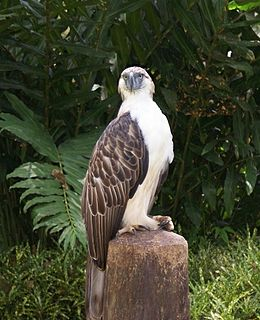 Philippine eagle The largest living eagle in the world