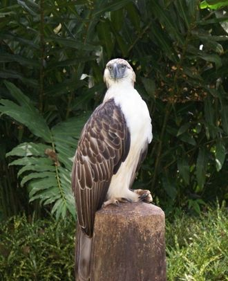 Eagle - Philippine eagle, Pithecophaga jefferyi in Southern Philippines.