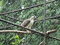 Pithecophaga jefferyi -Philippine Eagle Center, Davao City, Philippines-8a.jpg
