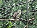 Pithecophaga jefferyi -Philippine Eagle Center, Davao City, Philippines-8a.jpg