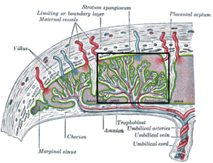 Placental cotyledon - Structure of the placenta, with a placental cotyledon marked in rectangle.