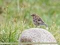 Plain Mountain Finch (Leucosticte nemoricola) (48660207611).jpg