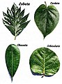 Plant morphology - Foliorum forma.jpg
