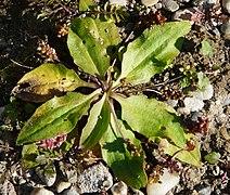 Plantago uliginosa.jpg