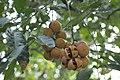 Plants Chisocheton cumingianus fruit IMG 8249.jpg