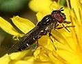 Platycheirus albimanus (female) - Flickr - S. Rae (13).jpg