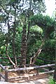 Platycladus Fragrant Hills.jpg