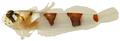Platygillellus rubrocinctus - pone.0010676.g143.png