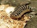 Pleasing Fungus Beetle Larva (29032521242).jpg