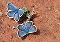 Plebejus argus - Silver-studded Blue butterflies.jpg