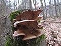 Pleurotus sp (3) (32981441420).jpg